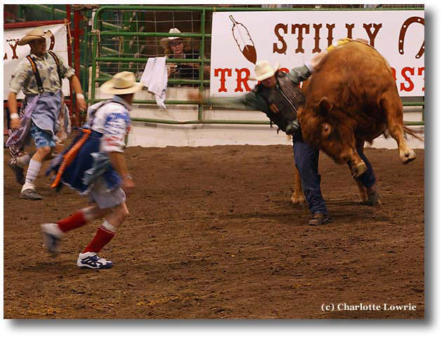 Rodeo rider holds bull